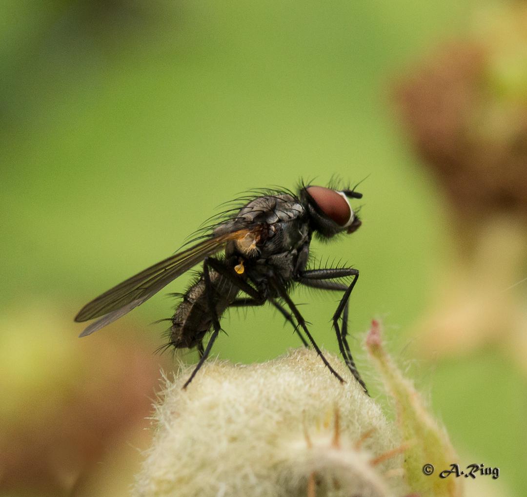 Fliege auf Brombeerblüte