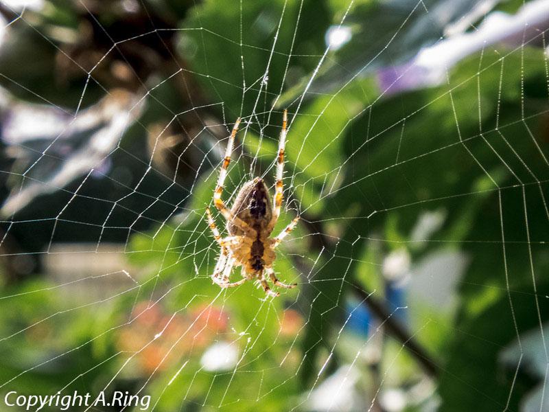 Garten-Kreuz-Spinne