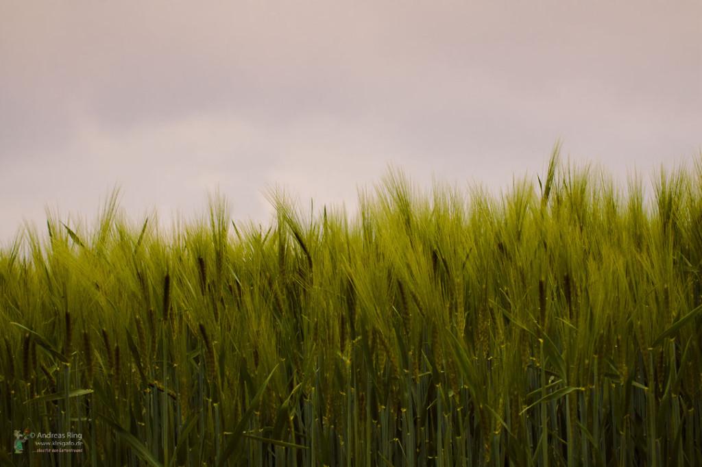 Landschaftsbild mit Getreidefeld