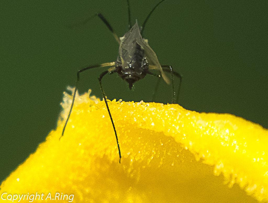 Makro einer Mücke auf einer Blüte