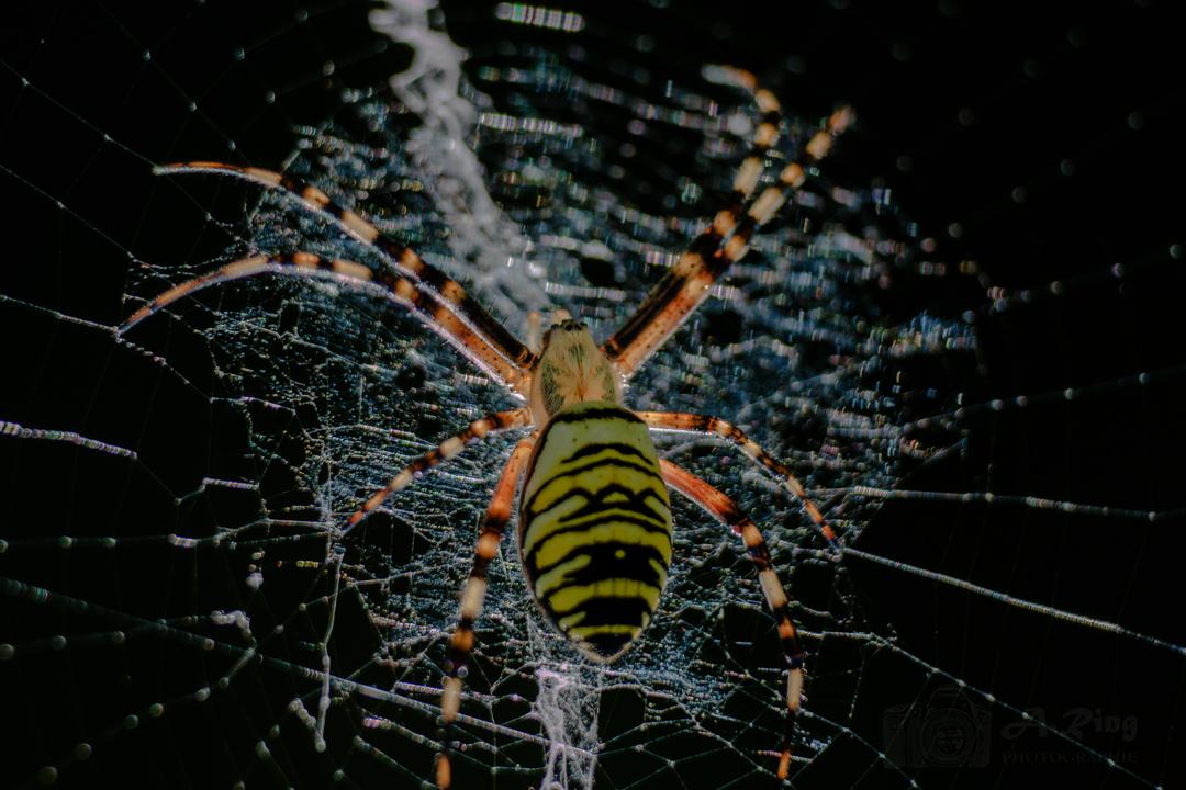 Sie sehen einfach toll aus - die Wespenspinne